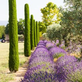 Bien qu'étant des végétaux très classiques, une combinaison d'oliviers, de cyprès et de lavandes est une valeur sûre pour affirmer avec raffinement le caractère résolument provençal de votre propriété.
