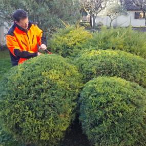 Taille en boule ou en nuages grâce à laquelle un arbre ou arbuste quelconque et vieillissant peut devenir le point focal d'un jardin.