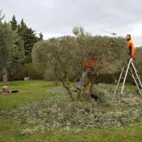 Taille paysagère d'oliviers permettant de mettre en valeur le graphisme majestueux de leurs troncs sinueux.