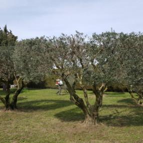 Après la taille de la haie (en arrière plan) et des oliviers, un traitement à la bouillie bordelaise complète l'intervention.